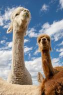 alpaca-pet-photographer-session-akaroa.jpg