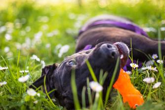 dogs-portraits-selwyn-park-pet.jpg