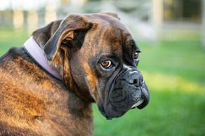 dogs-photographer-canterbury-pet-portrait.jpg