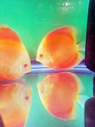 Albino Golden Red Diamond