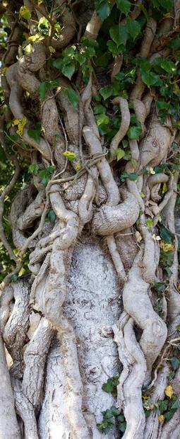 Tree Nymphs