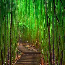 hana bamboo.jpg