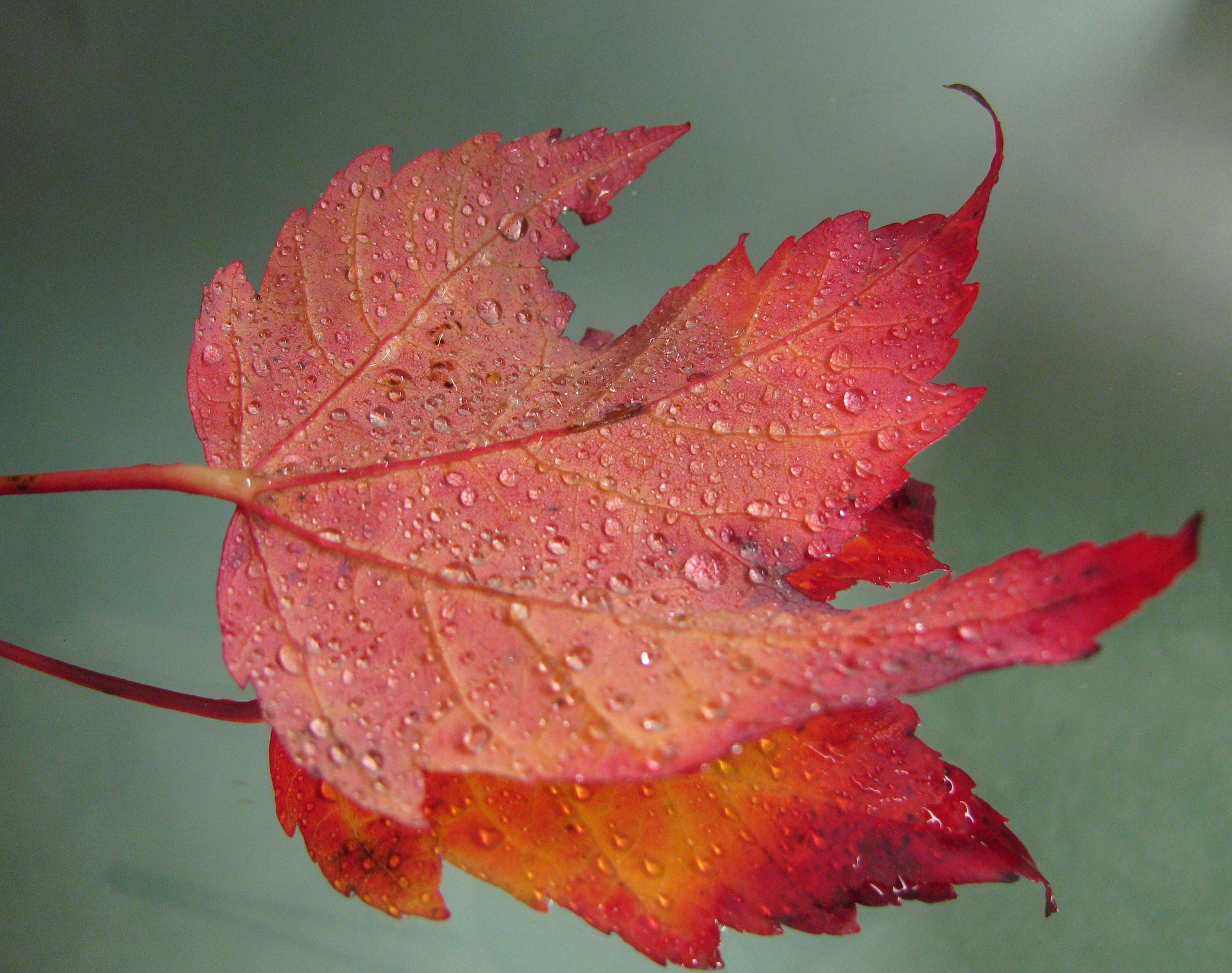 maple-leaf-1688900_1920
