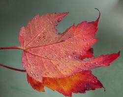 maple-leaf-1688900_1920