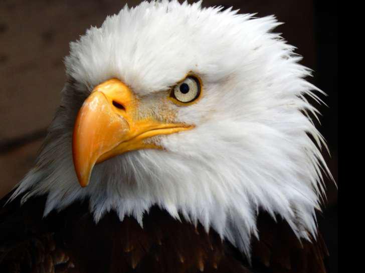 Eagle transparent.png