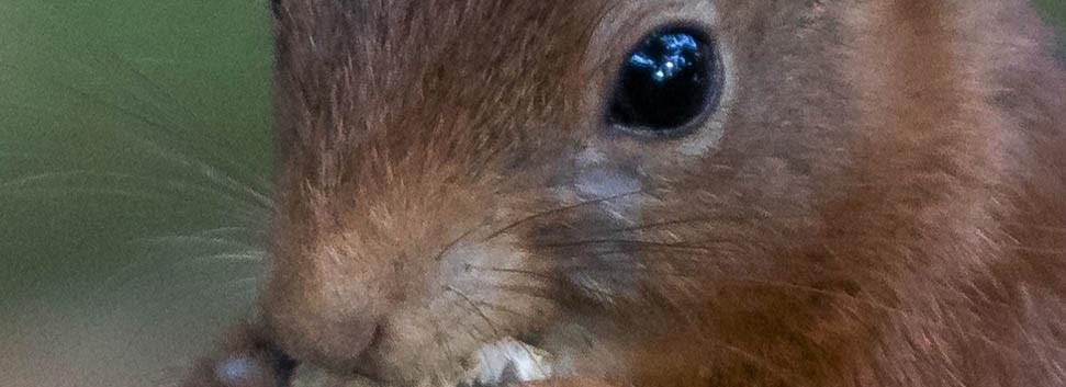Portret Eekhoorn