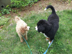 two puppies meeting with dog walker