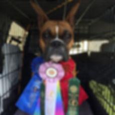 Boxer dog titles