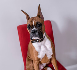 Boxer dog model for dog walking