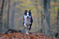 Border Collie running in the woods