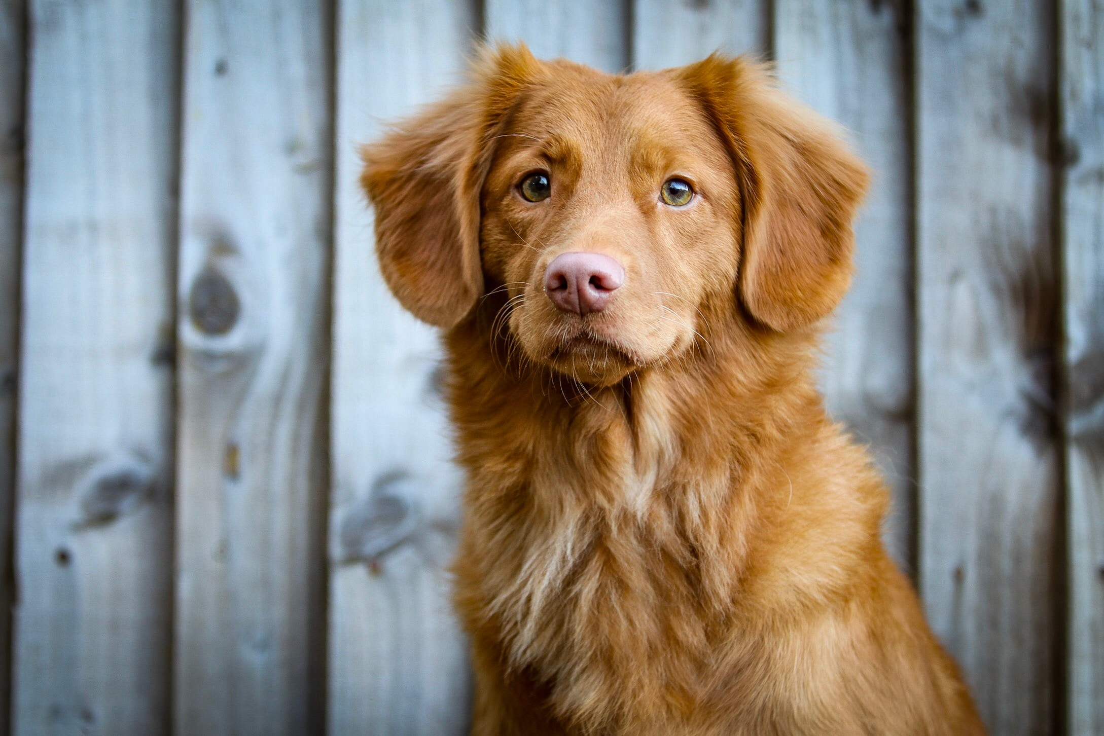 Toller waiting for a dog walk
