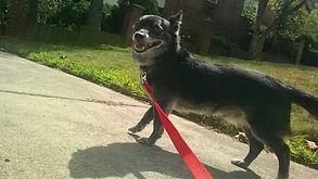 dog being walked by Waltham dog walker