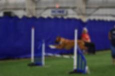 Boxer dog agility