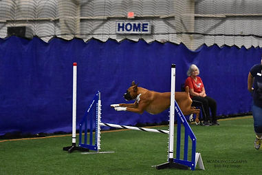 Boxer dog agility