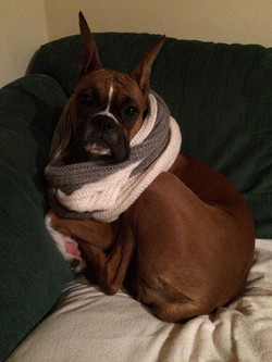 Boxer dog in scarf