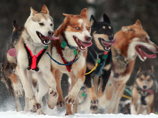 Adventurous Investors: What Stock Traders Can Learn From the Iditarod