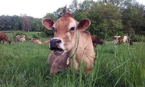 Cow close up.jpg