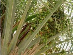 Palmera datilera