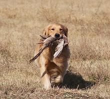Eddie's pheasant.JPG