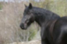 es chevaux de la race Mérens doivent répondre à des critères précis