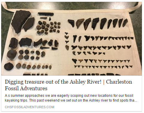 shark teeth from the Ashley River