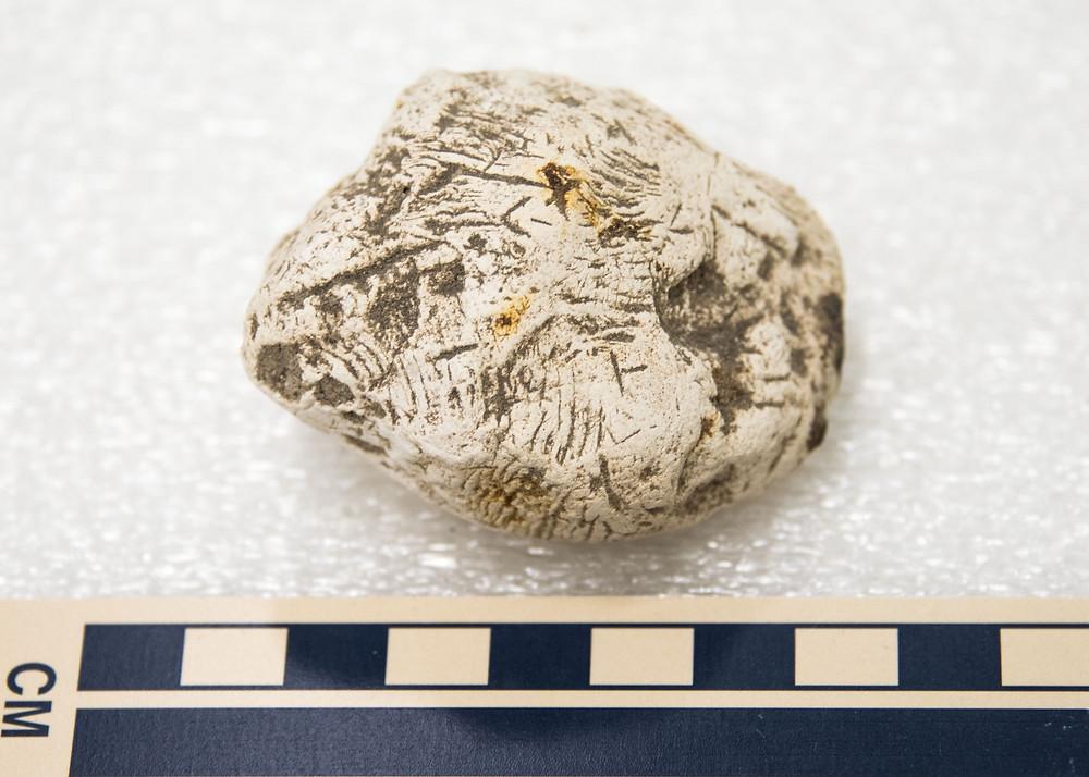 Gar-bitten coprolite; CCNHM collections, Chandler Bridge Fm, SC