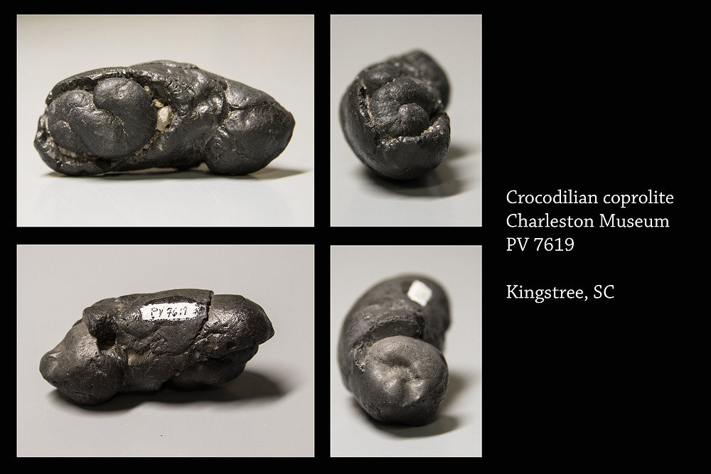 Crocodilian coprolite, Charleston Museum, PV7619, Kingstree, SC