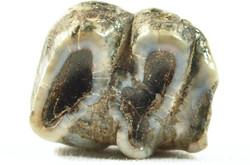 Manatee molar from Edisto Beach