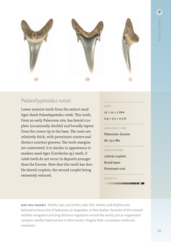 Shark Teeth Identification