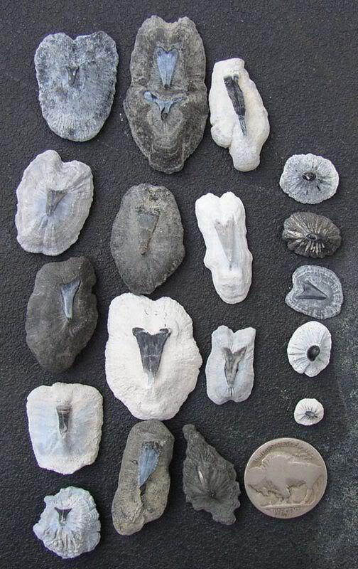 Batoid dermal denticles; photo: thefossilforum.com
