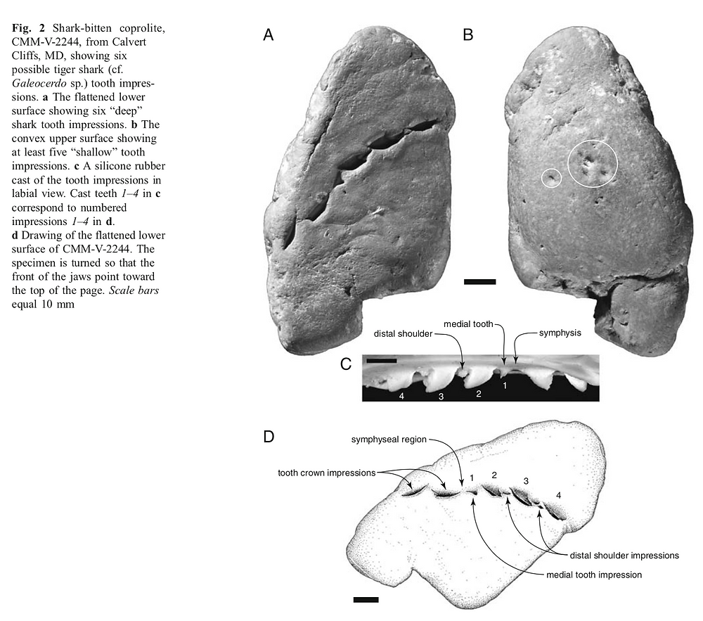Shark bitten coprolites from the Miocene of Maryland