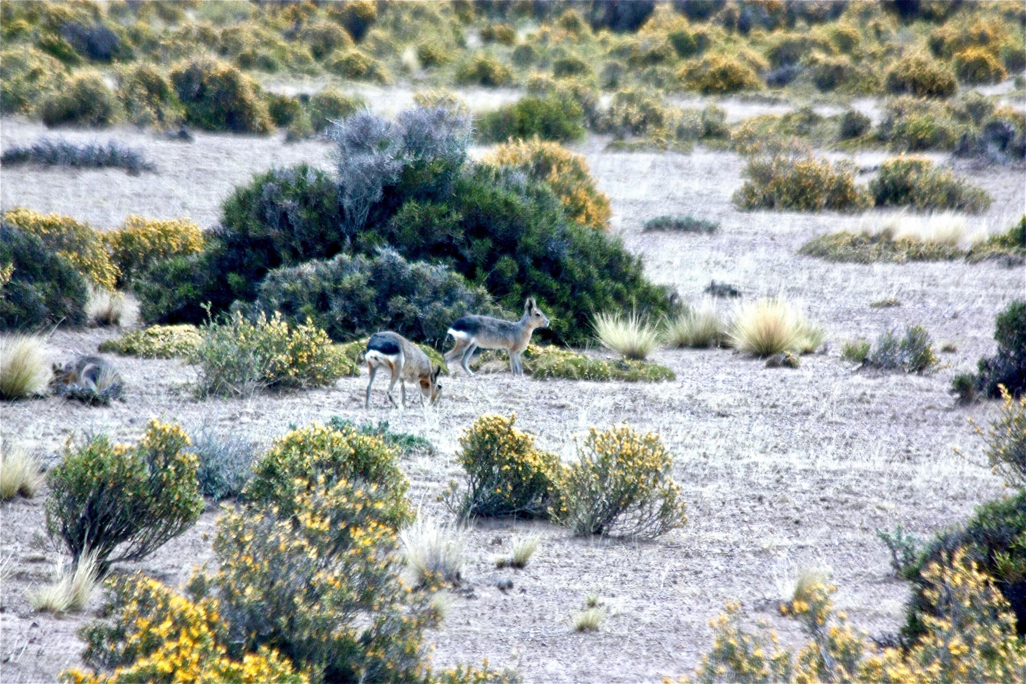 MARAS (lièvres de Patagonie)