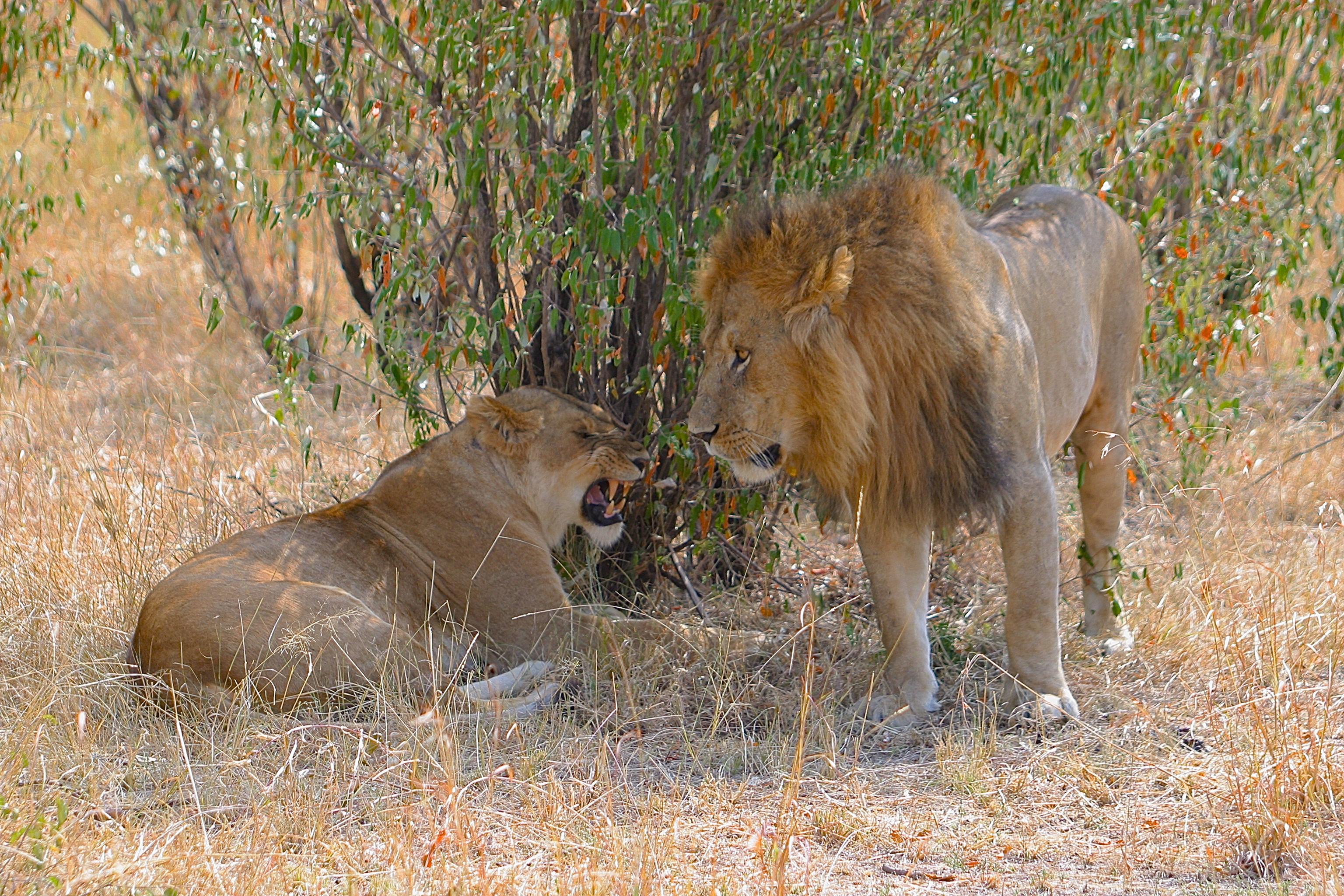 LIONNE ET LION