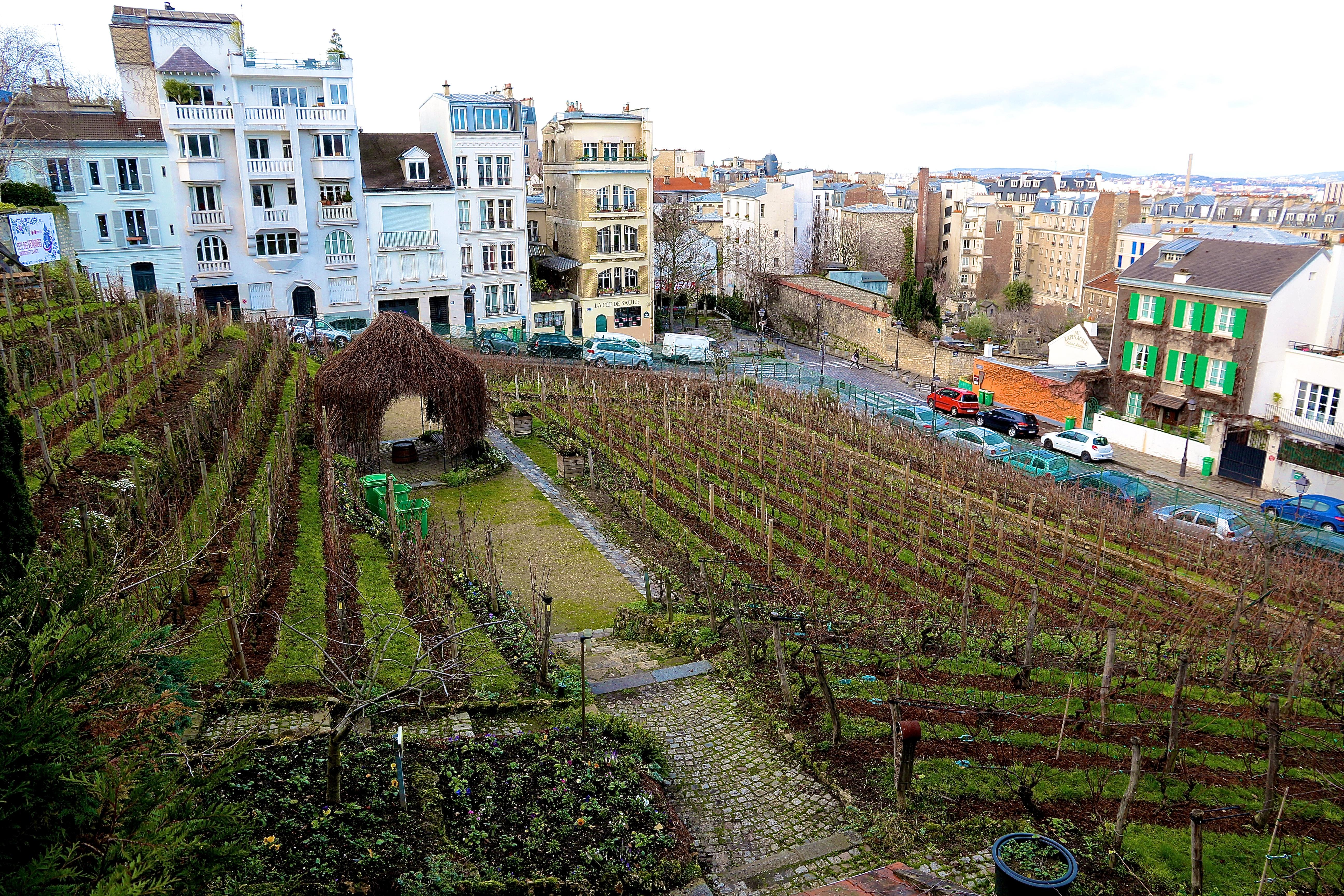 la Vigne du Clos-Montmartre