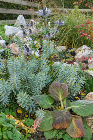 Euphorbia rigida and Bergenia ciliata