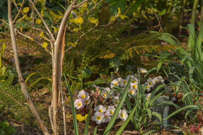 Primulas with Physocarpus