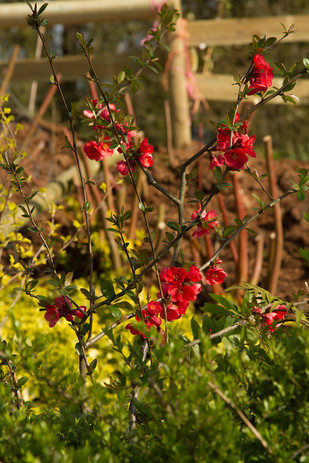 Chenomeles with Euonymus behind