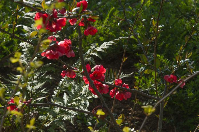 Chaenomeles speciosa 'Umbilicatum'
