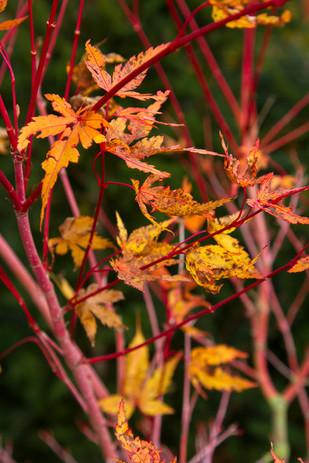 Acer palmatum 'Sengokaku'