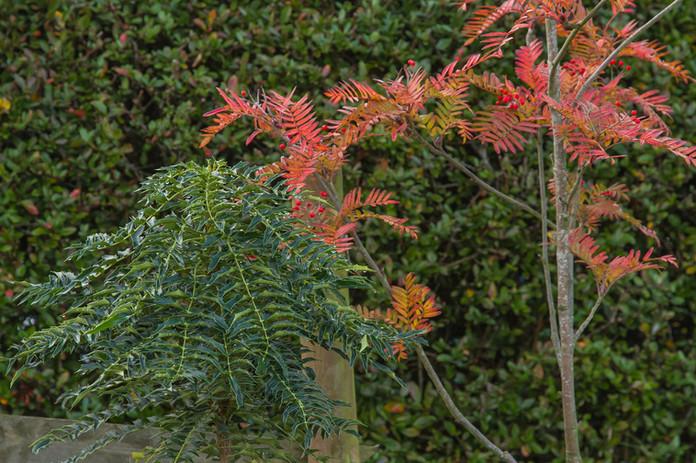Mahonia and Sorbus scalaris