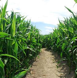 Random Corn Maze photo.jpg