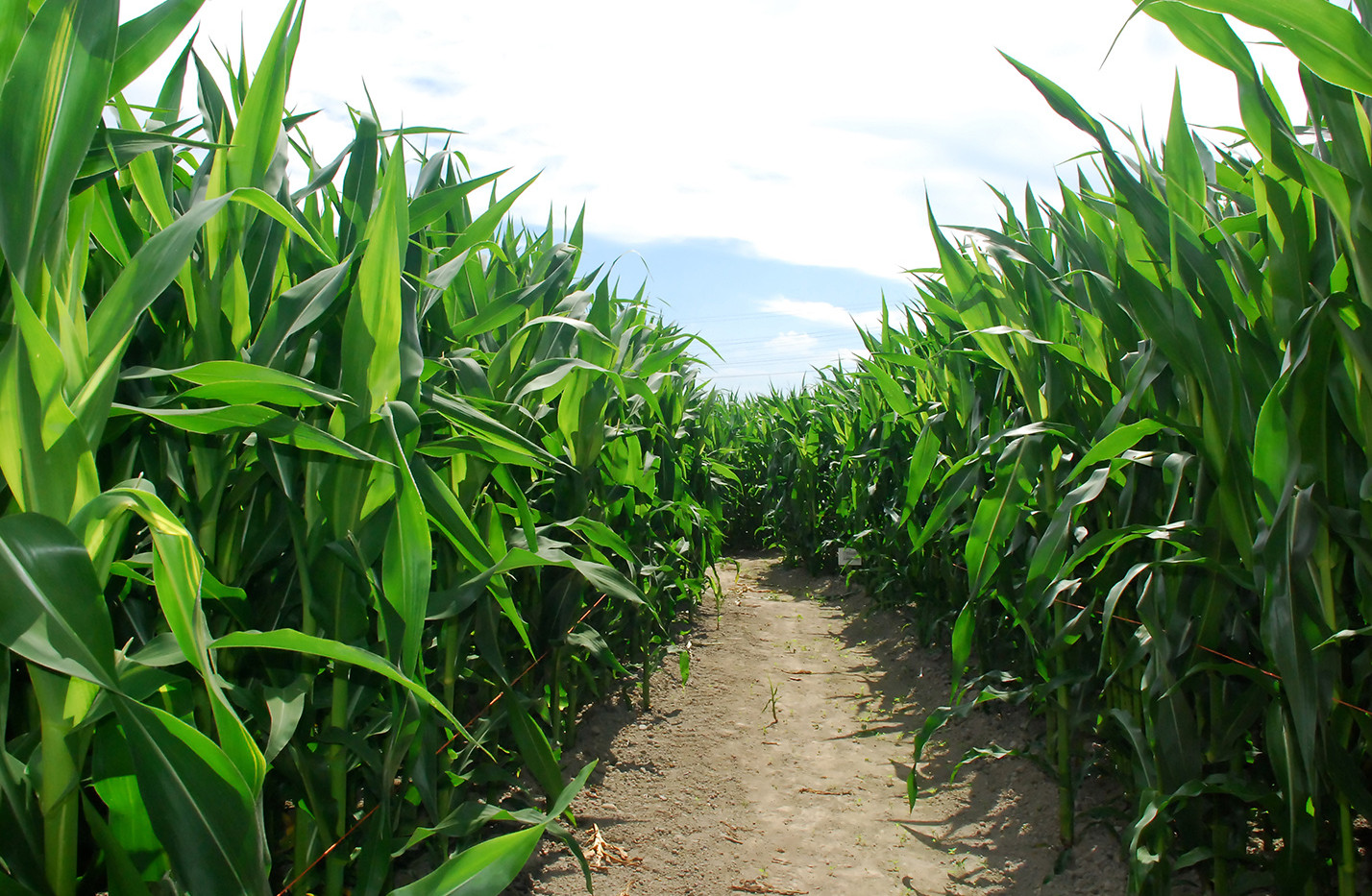 Random Corn Maze photo.jpg