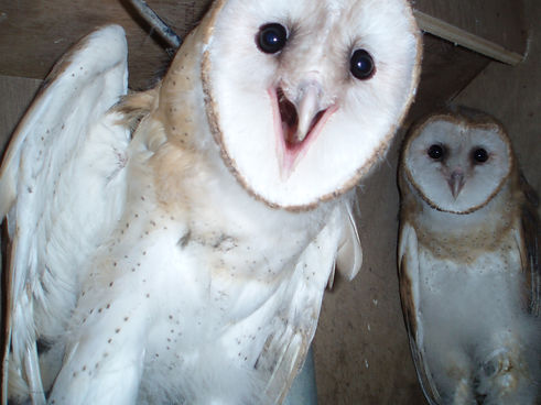 Barn Owls from WRI back in Box.JPG