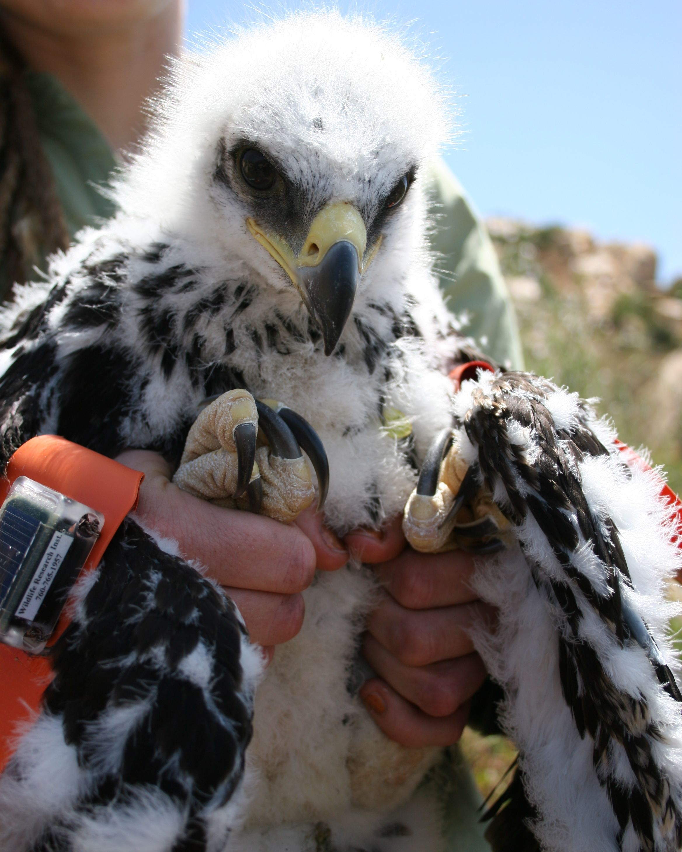 San Vicente Eagle Banding 201050