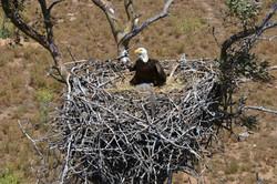 JDB_2260 Bald Eagle Ramona Grasslands 2016 (11)
