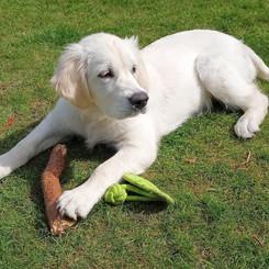 SADIE - Lovely Labrador