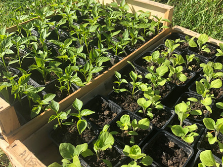 Jardin deuxième année : Nos semis, la confiance et patatras !
