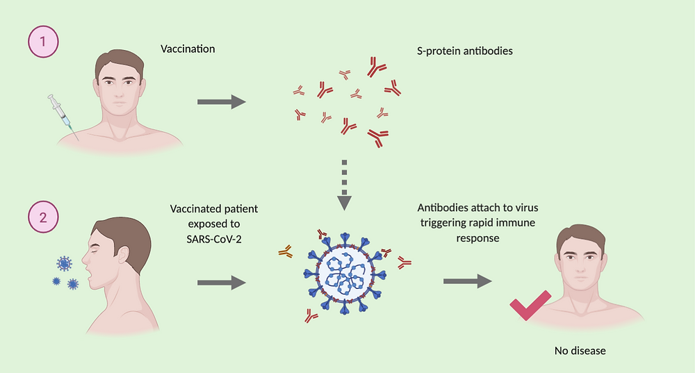 Image 2: Illustration of how the vaccine prevents diseases, through eliciting the S-protein antibodies which bind upon exposure to the virus preventing disease