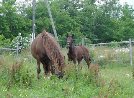 Le bien-être des poneys d'Hurl'vent par Marie-Claude