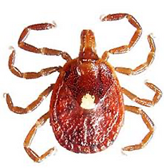 Lone Star Tick.png